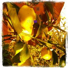 Lemon means summer